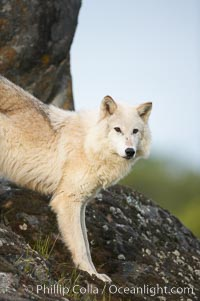 Gray wolf, Sierra Nevada foothills, Mariposa, California., Canis lupus, natural history stock photograph, photo id 16039