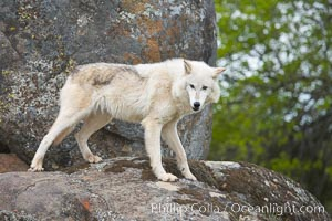 Gray wolf, Sierra Nevada foothills, Mariposa, California., Canis lupus, natural history stock photograph, photo id 16045