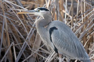 Great blue heron, Bosque del Apache National Wildlife Refuge