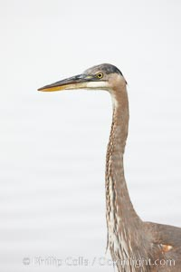 Great blue heron, head detail. Santee Lakes, Santee, California, USA, Ardea herodias, natural history stock photograph, photo id 23403