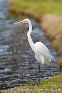 Great egret (white egret), Ardea alba, Santee Lakes