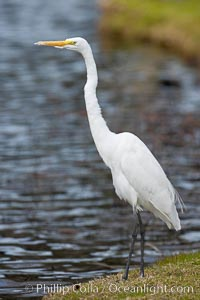 Great egret (white egret). Santee Lakes, California, USA, Ardea alba, natural history stock photograph, photo id 15658