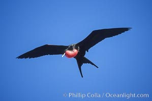 Great frigate bird (note green scapular feathers), adult male, Fregata minor, North Seymour Island