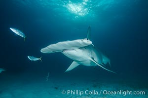 Great hammerhead shark. Bimini, Bahamas, Sphyrna mokarran, natural history stock photograph, photo id 31967