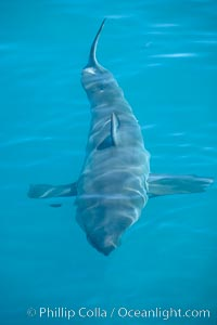 A great white shark swims just below the rippled ocean surface of Isla Guadalupe, far offshore of the Pacific Coast of Baja California. Guadalupe Island (Isla Guadalupe), Baja California, Mexico, Carcharodon carcharias, natural history stock photograph, photo id 07721