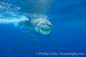 A great white shark underwater.  A large great white shark cruises the clear oceanic waters of Guadalupe Island (Isla Guadalupe). Guadalupe Island (Isla Guadalupe), Baja California, Mexico, Carcharodon carcharias, natural history stock photograph, photo id 10119