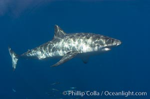 A great white shark swims through the clear waters of Isla Guadalupe, far offshore of the Pacific Coast of Baja California.  This individual is a male, not the prominant claspers (ventral caudal area).  Guadalupe Island is host to a concentration of large great white sharks, which visit the island to feed on pinnipeds and tuna. Guadalupe Island (Isla Guadalupe), Mexico, Carcharodon carcharias, natural history stock photograph, photo id 07670