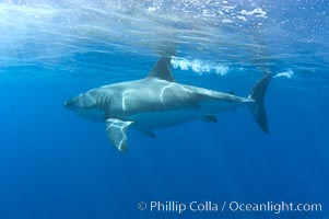 A great white shark swims at the surface with its dorsal fin above water, Carcharodon carcharias, Guadalupe Island (Isla Guadalupe)