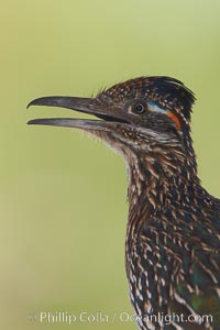 Greater roadrunner. Amado, Arizona, USA, Geococcyx californianus, natural history stock photograph, photo id 22946