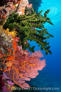 Green fan coral and sea fan gorgonians on pristine reef, both extending polyps into ocean currents to capture passing plankton, Fiji. Vatu I Ra Passage, Bligh Waters, Viti Levu  Island, Gorgonacea, Tubastrea micrantha, natural history stock photograph, photo id 31459