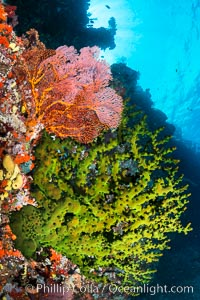 Green fan coral and sea fan gorgonians on pristine reef, both extending polyps into ocean currents to capture passing plankton, Fiji, Gorgonacea, Tubastrea micrantha, Vatu I Ra Passage, Bligh Waters, Viti Levu  Island