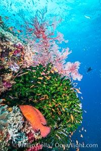 Green fan coral, anthias fishes and sea fan gorgonians on pristine reef,  Fiji, Gorgonacea, Pseudanthias, Tubastrea micrantha