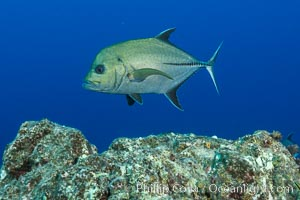 Green Jack, Socorro Island, Mexico. San Benedicto Island (Islas Revillagigedos), Baja California, Mexico, natural history stock photograph, photo id 33351