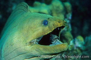 Green moray eel, Roatan