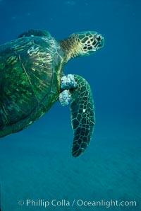 Green sea turtle exhibiting fibropapilloma tumors, West Maui. Maui, Hawaii, USA, Chelonia mydas, natural history stock photograph, photo id 02835