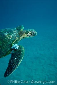 Green sea turtle exhibiting fibropapilloma tumors, West Maui. Hawaii, USA, Chelonia mydas, natural history stock photograph, photo id 02839