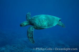 Green sea turtle, West Maui. Maui, Hawaii, USA, Chelonia mydas, natural history stock photograph, photo id 02845