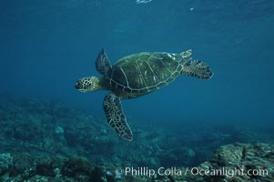 Green sea turtle, West Maui. Hawaii, USA, Chelonia mydas, natural history stock photograph, photo id 02852