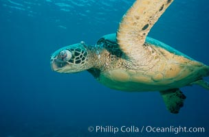 Green sea turtle exhibiting fibropapilloma tumor on left eye and neck, West Maui. Maui, Hawaii, USA, Chelonia mydas, natural history stock photograph, photo id 02906