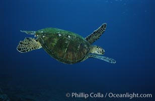 Green sea turtle, West Maui, Chelonia mydas