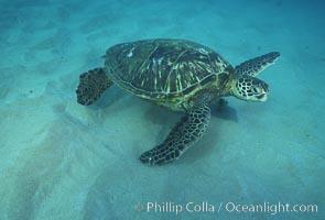 Green sea turtle, Maui Hawaii, Chelonia mydas