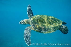 Green sea turtle. Maui, Hawaii, USA, Chelonia mydas, natural history stock photograph, photo id 05680