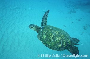 Green sea turtle missing flipper (shark injury?), Chelonia mydas, Maui