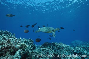 Green sea turtle being cleaned by reef fish, Chelonia mydas, Maui