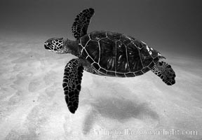 Green sea turtle. Maui, Hawaii, USA, Chelonia mydas, natural history stock photograph, photo id 06123