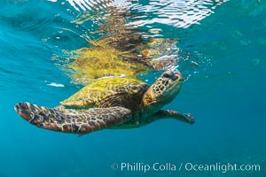 Green sea turtle Chelonia mydas, West Maui, Hawaii, Chelonia mydas
