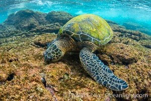 Green sea turtle foraging for algae on coral reef, Chelonia mydas, West Maui, Hawaii, Chelonia mydas