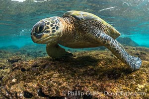 Green sea turtle foraging for algae on coral reef, Chelonia mydas, West Maui, Hawaii. Maui, Hawaii, USA, Chelonia mydas, natural history stock photograph, photo id 34507