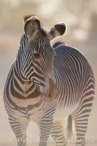 Grevys zebra., Equus grevyi, natural history stock photograph, photo id 17961