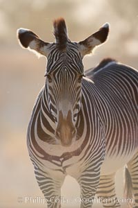 Grevys zebra, Equus grevyi
