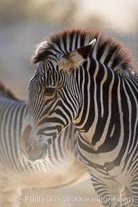 Grevys zebra., Equus grevyi, natural history stock photograph, photo id 17963