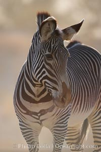 Grevys zebra., Equus grevyi, natural history stock photograph, photo id 17964