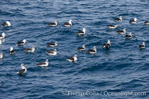 Gray-headed albatross, floating on the ocean, Thalassarche chrysostoma