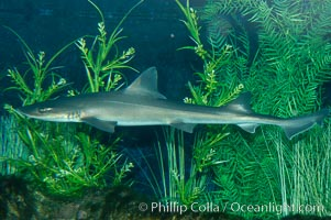 The grey smooth-hound shark is often found in bay, estuaries and rocky shorelines, from the Gulf of California to northern California, Mustelus californicus