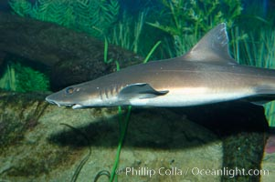 The grey smooth-hound shark is often found in bay, estuaries and rocky shorelines, from the Gulf of California to northern California., Mustelus californicus, natural history stock photograph, photo id 10284