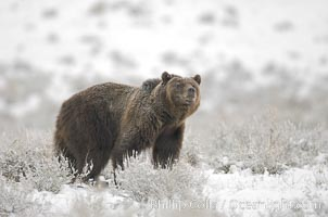 Grizzly bear in snow. Lamar Valley, Yellowstone National Park, Wyoming, USA, Ursus arctos horribilis, natural history stock photograph, photo id 19616