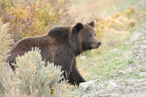 Grizzly bear peers around a sage bush, Ursus arctos horribilis, Lamar Valley, Yellowstone National Park, Wyoming