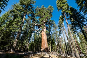 The Grizzly Giant Sequoia Tree in Yosemite. Giant sequoia trees (Sequoiadendron giganteum), roots spreading outward at the base of each massive tree, rise from the shaded forest floor. Mariposa Grove, Yosemite National Park