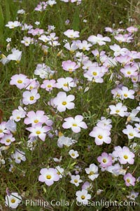 Ground pink blooms in spring, Batiquitos Lagoon, Carlsbad. Batiquitos Lagoon, Carlsbad, California, USA, Linanthus dianthiflorus, natural history stock photograph, photo id 11510