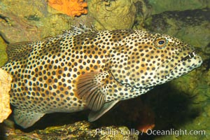 Unidentified grouper