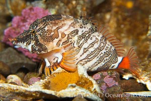Grunt sculpin.  Grunt sculpin have evolved into its strange shape to fit within a giant barnacle shell perfectly, using the shell to protect its eggs and itself, Rhamphocottus richardsoni