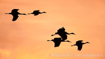Sandhill cranes in flight, sunset, Grus canadensis, Bosque Del Apache, Socorro, New Mexico