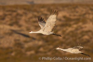 Sandhill cranes flying, sunrise, Grus canadensis, Bosque Del Apache, Socorro, New Mexico