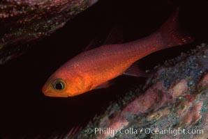 Guadalupe cardinalfish, Apogon guadalupensis, Guadalupe Island (Isla Guadalupe)