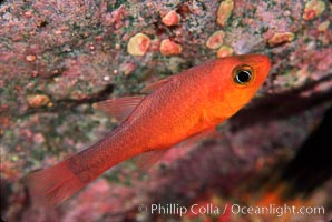 Image 02406, Guadalupe cardinalfish. Guadalupe Island (Isla Guadalupe), Baja California, Mexico, Apogon guadalupensis