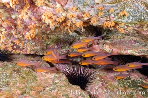 Guadalupe cardinalfish, typically schooling together in the shadow of a rock ledge, Apogon guadalupensis, Guadalupe Island (Isla Guadalupe)